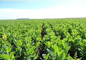 Adubação verde é indicada para o cultivo  convencional e orgânico de frutas e hortaliças