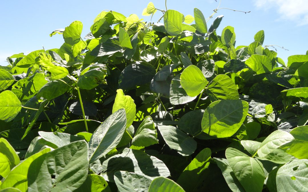 Mucunas são indicadas para recuperação de solos degradados e controle de daninhas