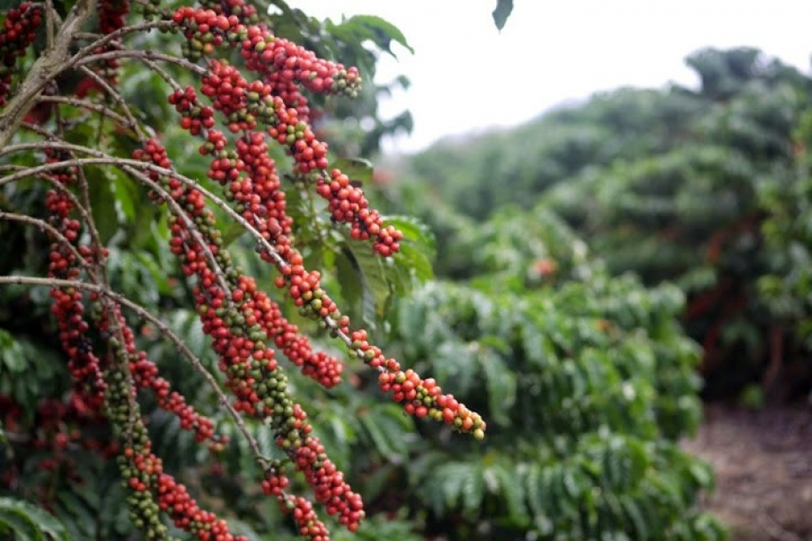 Efeito do uso de blends de plantas de cobertura consorciadas no cultivo de café arábica.